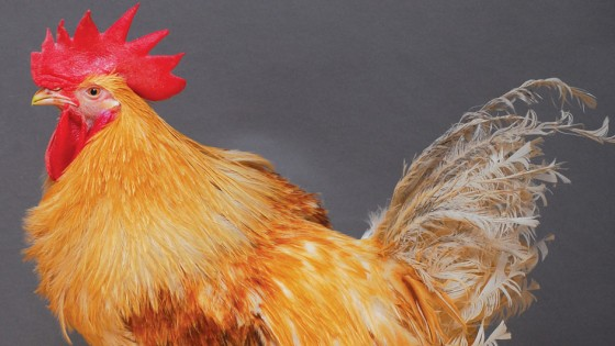 110719 Genetically modified chicken credit Norrie Russell The Roslin Institute University of Edinburgh 560x315