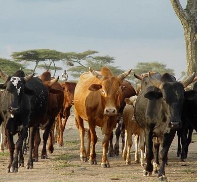 Ethiopian cattle
