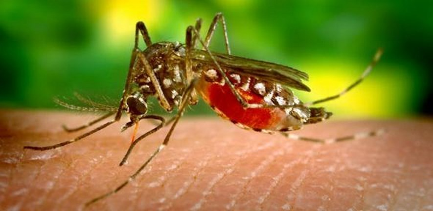 Aedes mosquito 885x342
