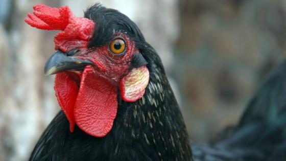 chicken 560x315