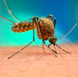 Malaria 250x250