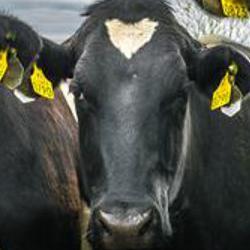 Cambridge to help tackle bovine tuberculosis in Ethiopia